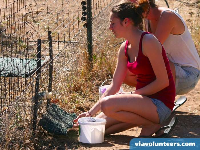 Why not volunteer abroad with Via Volunteers in South Africa during your gap year abroad and have lots of fun helping to rehabilitate the vervet monkeys!