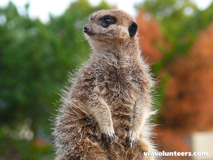 This cheeky meerkat is one of the many animals found at the Butterfly World sanctuary.