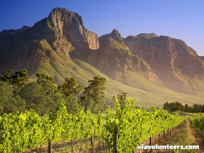Beautiful vineyards in Franschhoek.