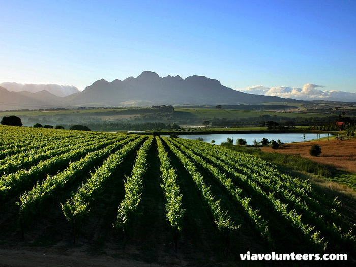 Breathtaking views of the Stellenbosch Winelands with Simonsberg Mountains in the background.