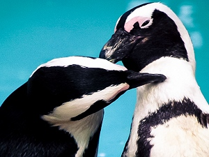 African Penguin and Seabird Rehabilitation - Homestay